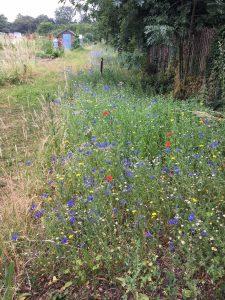 Wildflower plot by Louise Hashemi